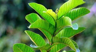 Daun pucuk jambu, kanker, diabetes, diare, cara mengobati diare dengan daun pucuk jambu, daun pucuk jambu untuk diare, mengobati diare dengan daun pucuk jambu, cara mengatasi diare, daun pucuk jambu biji untuk diabetes