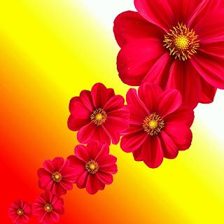 gambar background bunga dahlia merah