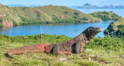 kamu pastinya sudah tak asing lagi dengan hewan predator asli khas Indonesia tersebut Contoh Report Text Komodo Dragon dan Terjemahannya