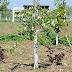 TRIPOM- același pom fructifer, trei soiuri diferite de fructe!