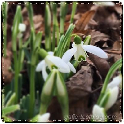 Die ersten Frühlingsboten - Schneeglöckchen