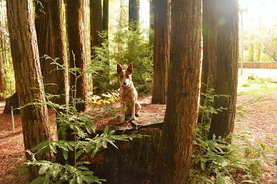 Magical dog on redwood tree fairy circle