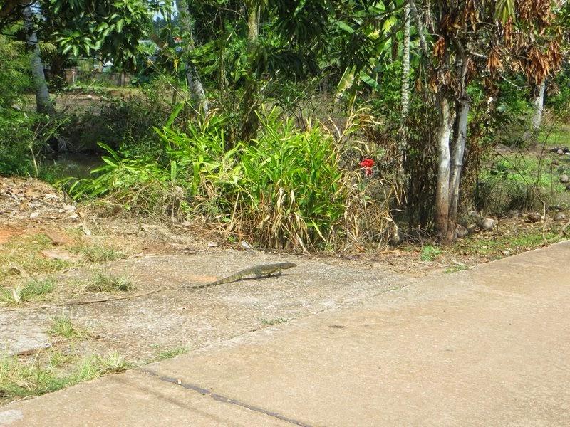 Варан на дороге Таиланд