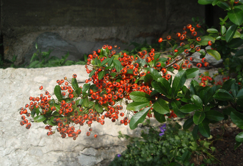 pyracantha coccinea o espino de fuego