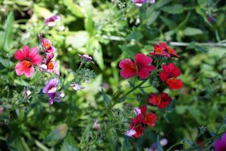 Nemesia 'Sunsatia Cranberry'