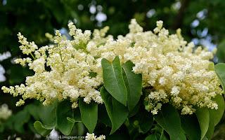 http://fotobabij.blogspot.com/2015/03/lilak-amurski-kwiaty-syringa-amurensis.html