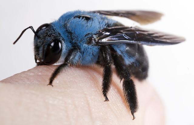 abeja con pelaje azul sobre la mano