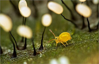 A yellow springtail walking through tall fungi with black stems and white bulbous tops. .