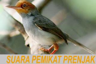 Suara Burung Prenjak Untuk Memikat - Omah Prenjak