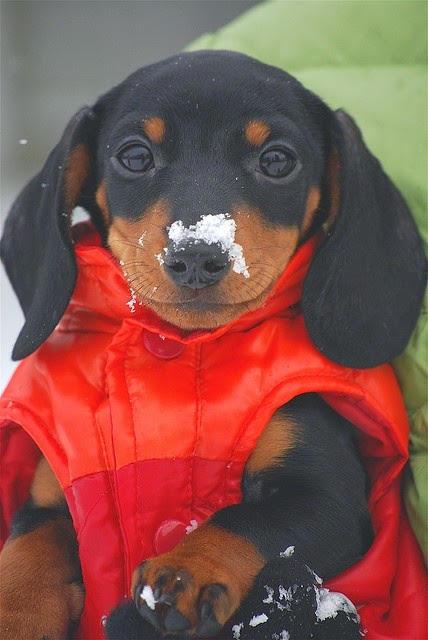 3 Top Cute And Amazing Dachshunds Puppies