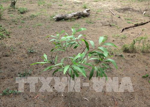 Quảng Ngãi: Xâm chiếm rừng dương phòng hộ để nuôi tôm