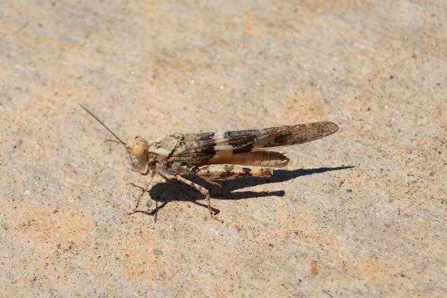Trimerotropis pallidipennis