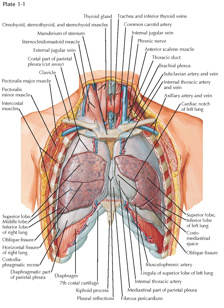 LUNGS IN SITU: ANTERIOR VIEW