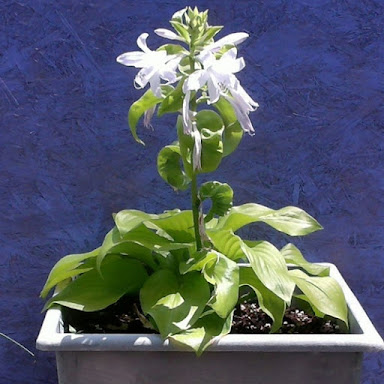The Shining Hosta in Container