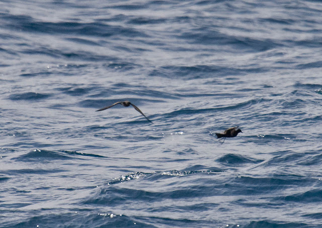 Ashy Storm-Petrel (left), Black Storm-Petrel (right).