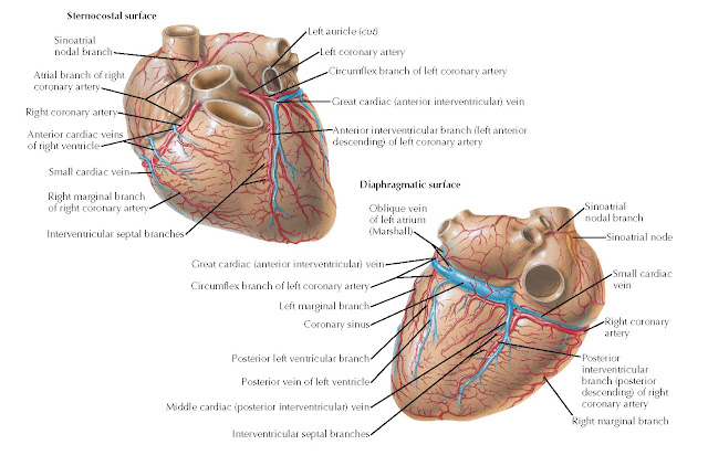 Coronary arteries and cardiac veins