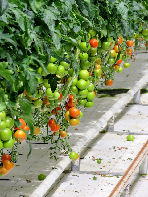 Self-drive around Iceland's Golden Circle: Tomatoes in the Greenhouse at Friðheimar
