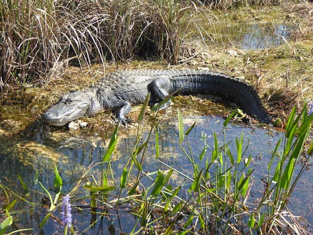 alligatore alle everglades