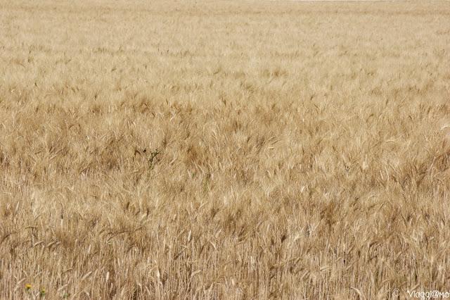 Paesaggio di Provenza con campi di grano