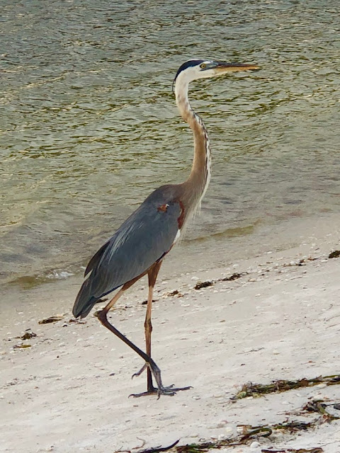 Heron on beach at Lovers Key State Park