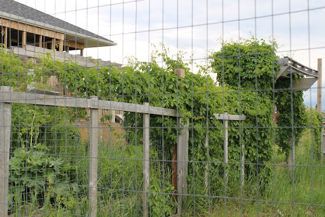 virginia creeper on a fence and arbour