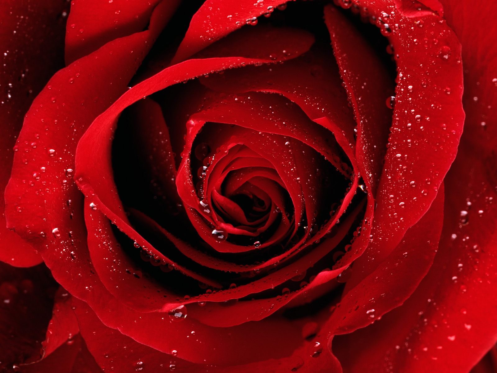 Red Flower Wallpaper