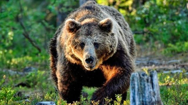 Lelőttek egy medvét, amely négy embert sebesített meg