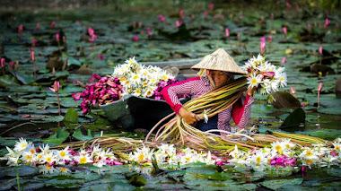Cosecha de flores y tallos de nenúfares en el Delta del Mekong