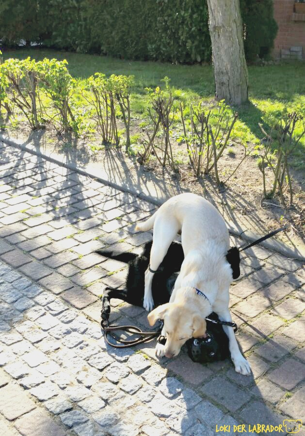 Zwei Labrador beim Spielen
