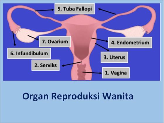 organ reproduksi wanita : ovarium, tuba fallopi, uterus dan vagina