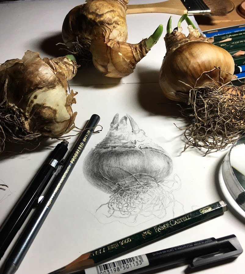 Narcissus bulb drawing with bulbs
