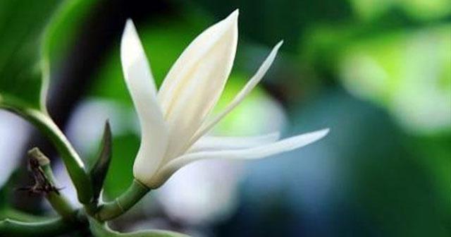 Selain Memiliki Keampuhan Dalam Hal Mistis Bunga Kantil Juga Konon Di Percaya Memiliki Keampuhan Lain Keampuhan Adalah Bisa Membuat Orang Awet Muda
