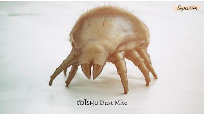 ตัวไรฝุ่น Dust mite