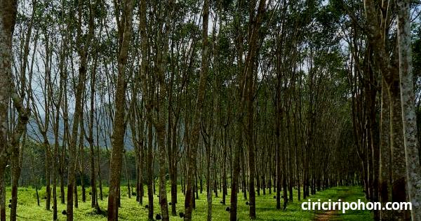 Manfaat Pupuk Urea Untuk Pohon Karet