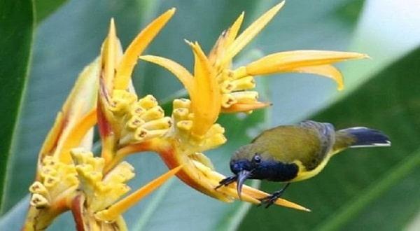 Burung Sogok Ontong