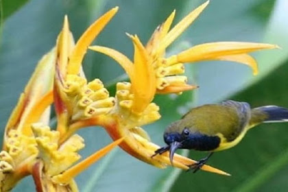 Burung Sogok Ontong, Tips Perawatan yang Baik dan Benar