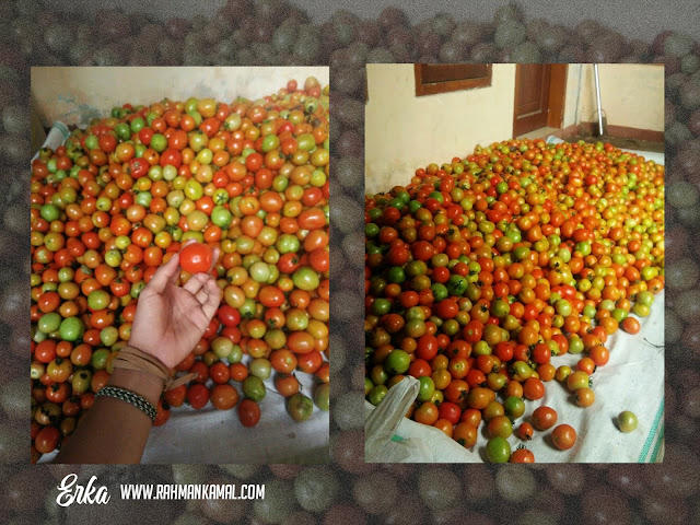 Sukses Berkebun Tomat