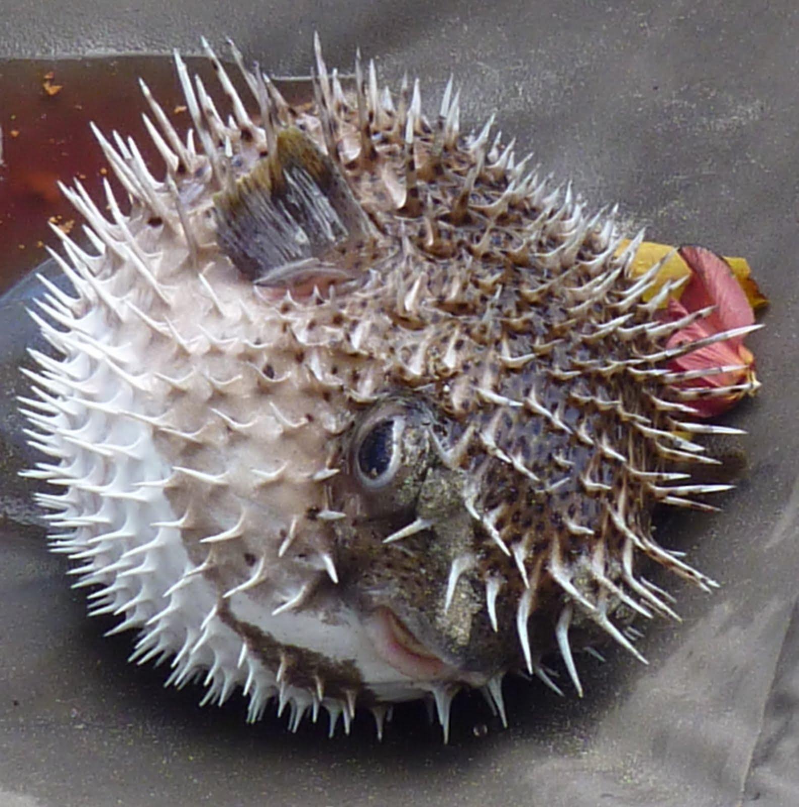 Peixe Porco Espinho ou Baiacu (Diodon hystrix)