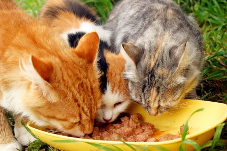 Trastornos inmunitario en gatos