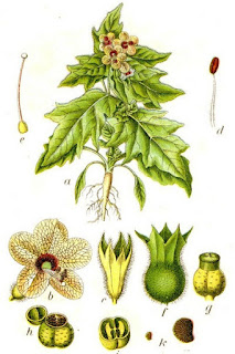 Partes de la planta del Beleño Negro, Hyosciamus niger