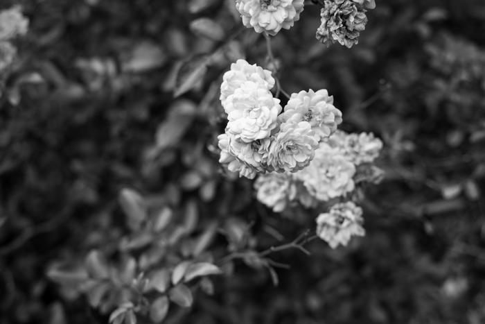b&w rose bud photo