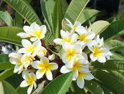 Cara Menanam Bunga Kamboja