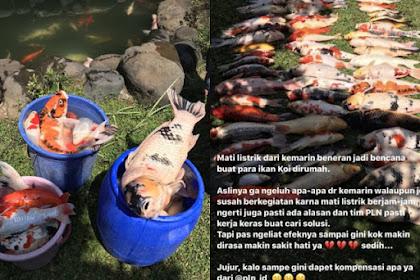 Ikan Koi Mati akibat Listrik Padam, PLN Bakal Digugat