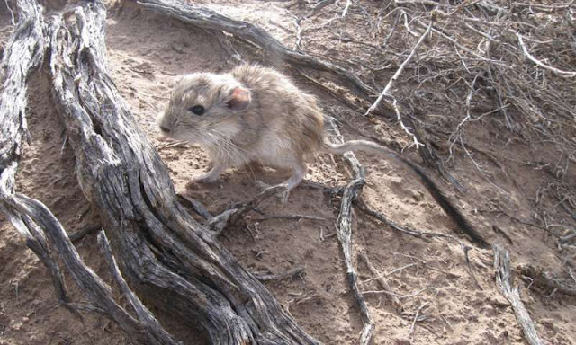 New analysis of rare Argentinian rat unlocks origin of the largest mammalian genome