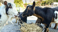 8 GOATS FROM CHICAGO ZOO WELCOMES TO MARYLAND ZOO
