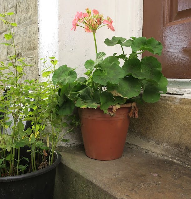 Pink geranium in pot and lemon balm in pot on doorstep. Halifax. West Yorkshire. 1st November 2020.