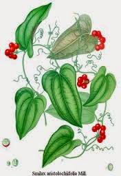 Rasa dari herbal ini adalah manis dan asam, memiliki suhu netral. Senyawa kimia yang terkandung didalamnya yaitu saponin (smilacin), tanin dan resin.