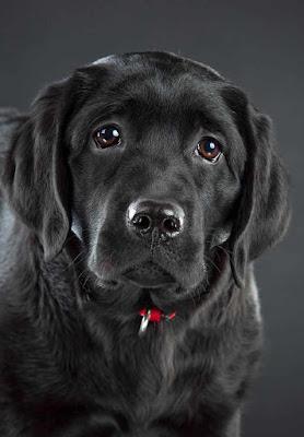 Cachorro de laborador inglés-negro