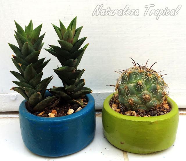 Cactus y planta crasa en macetas pequeñas
