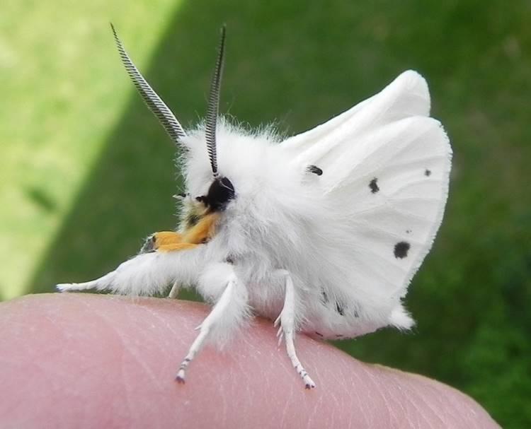 The Venezuelan poodle fluffy moth, poodle moth